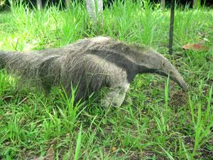 Amazon giant anteater