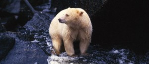 Saving the Great Bear Rainforest